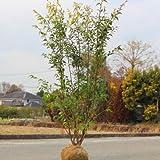 庭木:ハイノキ(はいのき)  常緑樹 シンボルツリー  樹高:約140cm