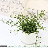 charm(チャーム) (観葉植物)ワイヤープランツ 3号(1ポット)