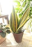 【ラッピング代込】 観葉植物 サンスベリア(サンセべリア)ゴールドフレーム 5号鉢 【ギフト】