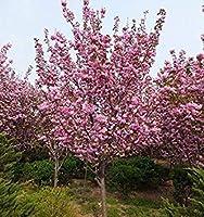 5:家庭菜園のための推進 300PCSベゴニアの種子ピンクの7種類の色の盆栽種子鉢植え種子