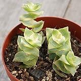 ミナミジュウジセイ 南十字星 7.5cmポット クラッスラ 福岡県産 多肉植物 多肉 観葉植物 インテリアグリーン 寄せ植えに