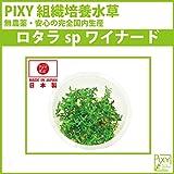 PIXY組織培養水草 ロタラspワイナード(無農薬、無菌、害虫無しの国内生産) …