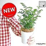 LAND PLANTS 【観葉植物】 シマトネリコ (3号サイズ )