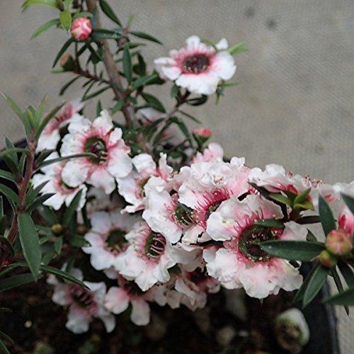 ティーツリー:マヌカ赤系一重花3号ポット 6株セット[はちみつで有名なニュージーランドの常緑樹]