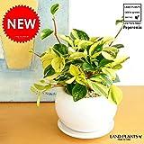 LAND PLANTS ペペロミア・グラベラ 白色丸型陶器 多肉質の植物