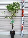 【ウメ苗木】 オウシュク 2年生 接木苗 【ガーデンストーリーの果樹苗木】