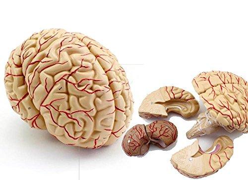 人体模型 脳 模型 実物大 9分解 取り外し可能