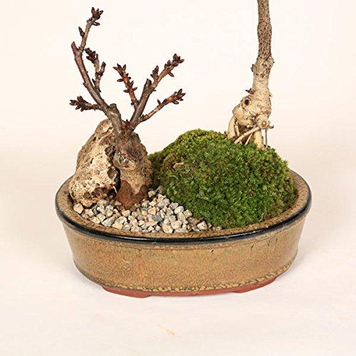 人気花物盆栽:桜・藤寄せ植え*陶器鉢【春に開花】