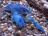 フロリダハマー ザリガニ ♂♀雄雌1ペア 2匹セット 6CM 仕切プラケース付き 生体