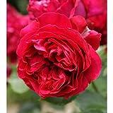 バラ苗 ルージュピエールドゥロンサール 国産新苗4号ポリ鉢 つるバラ(CL) 四季咲き 赤系