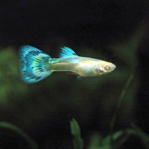 (熱帯魚) RREA・ブルーグラスグッピー(国産グッピー)(1ペア) 本州・四国限定[生体]