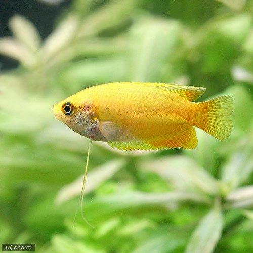(熱帯魚)単品 ゴールデンハニー・ドワーフグラミー(1匹) 本州・四国限定[生体]