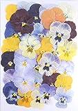 【お花屋さんの押し花セット ビオラMix】上質 押し花 ビオラ ハンドメイド UVレジンでスマホケースも作成可能