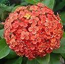 オレンジ:色の花の種 種子 庭のアジサイの植物のすべての種類盆栽ガマズミ属30 PC A22