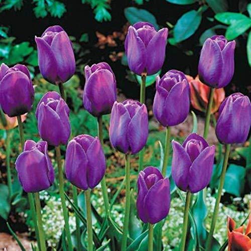 このチューリップは庭に任意の色の組み合わせに多彩な追加です。魅力的な紫王子は深い青紫色の花と非常に王室のです。驚くほど色の花びらは、エッジの周りに微妙なスカラップを示しました。