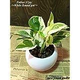 ポトス・エンジョイ / ホワイトラウンドポット / Pothos N'joy / White Monotone Pot / イテリア観葉植物 / ハイドロカルチャーアレンジ