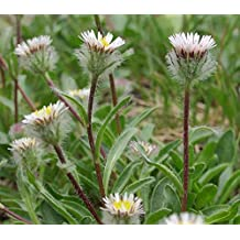 15 Erigeron uniflorus Seeds, Oneflower Fleabame Seeds