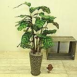 観葉植物:カラテア マコヤナ*陶器鉢 受け皿付 シュロ皮