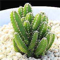 昇進! 500枚珍しい植物日本 の多肉植物の花盆栽植物室内植物の家と庭の装飾:500pcs4