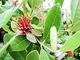 【6か月枯れ保証】【葉や形を楽しむ木】フェイジョア 0.3m