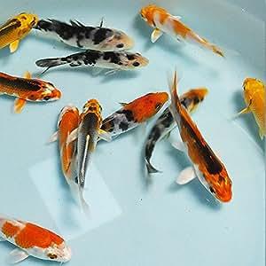 お任せ!錦鯉Mix5匹 S 10cm~13cm前後 鯉 色鯉