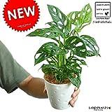LAND PLANTS マドカズラ 白色プラスチック鉢セット 4号サイズ モンステラ属・フリードリヒスターリー
