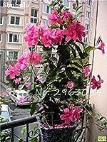 5:50個/袋レアDipladenia Sanderi種子Manla Sanderi屋外盆栽ガーデンSEED 5
