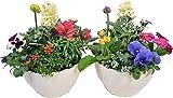 季節の鉢植え ウェーブプラ鉢(8号鉢・アイボリー) 【2個セット】 軽くて丈夫なプラ鉢 形がウェーブ状 ご自宅用 母の日 お誕生日 敬老の日 お歳暮 お中元に