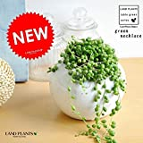 LAND PLANTS 【観葉植物】 グリーンネックレス (白色丸陶器鉢)
