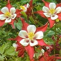 発芽SEEDS:A)1000個の種子:Outsideprideコロンバインクリムゾンスターの花の種