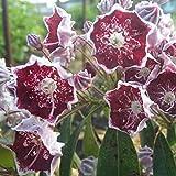 カルミア:ガーネットクラウン根巻き樹高40~50cm[花の内側がガーネットレッドになる品種]