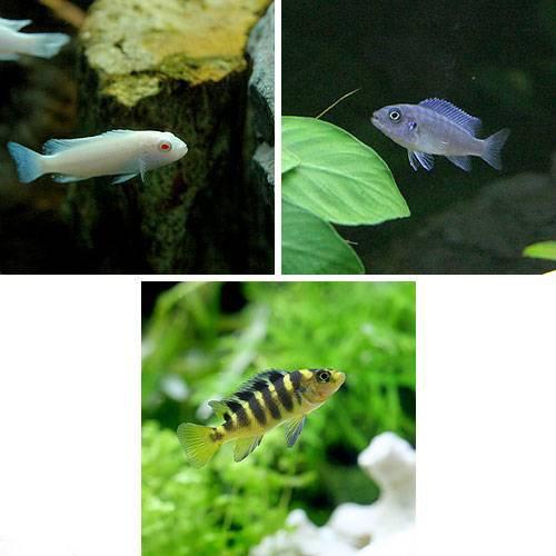 (熱帯魚) ムブナ3種ミックス Aセット 9匹(各種3匹) 本州・四国限定[生体]