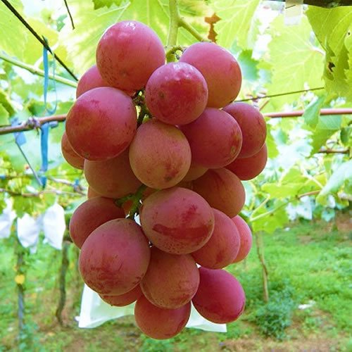 ぶどう 苗木 安芸クイーン 12cmポット苗 あきクイーン ブドウ 苗 葡萄