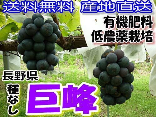 低農薬 返金保証付! 種なし 巨峰 ぶどう 約1.8kg 3〜4房入 贈答用 化粧箱入 葡萄 ブドウ 産地直送