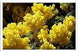 ミモザ開花ふわふわイエロー春支店36436 の金属看板 ティンサイン ポスター / Tin Sign Metal Poster of Mimosa Flowering Fluffy Yellow Spring Branches 36436
