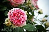 バラ苗 ピエールドゥロンサール オリジナルロゴ入り角鉢 中苗 つるバラ 初心者に超おすすめ つる性 ピンク バラ 苗 つるばら 薔薇 バラ苗木