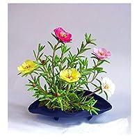 鉢植えの花の種Portulaca Grandiflora、サンプラントの種、マツ針牡丹の種、約200粒子