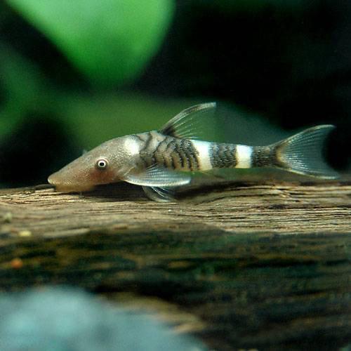 (熱帯魚) ボルケーノオトシン(1匹) 本州・四国限定[生体]