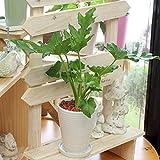 観葉植物(生花) フィロデンドロン セローム(セロウム) 陶器鉢(鉢皿付) 高さ40cm~50cm