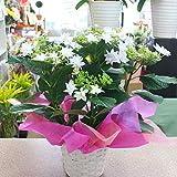 花ギフトにあじさい鉢植え 5号かご付鉢植え 白色