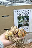 秋植え球根 オリエンタルユリ カサブランカ(特大球) 3球セット   【送料込】
