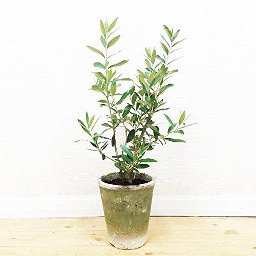 オリーブの木 生きている植物鉢 モスポット植え 観葉植物 ガーデニング インテリア ミニ 中型