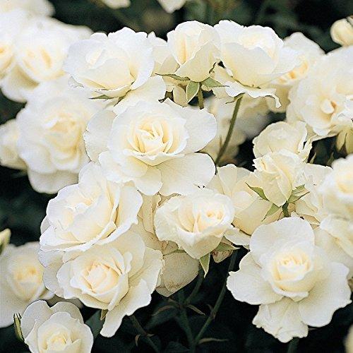 バラ苗 アイスバーグ 国産新苗植え替え6号スリット鉢 フロリバンダ(FL) 四季咲き中輪 白系
