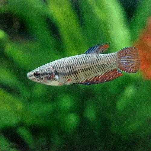 (熱帯魚) ベタ・トラディショナル 色指定なし(メス)(1匹) 本州・四国限定[生体]