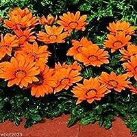 ガザニア種子 - オレンジキス - ラージラウンド、深い赤色の花(25種)を