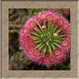 無料の船モウセンゴケクリップハエトリグサ種子食虫種子庭の植物種子盆栽ファミリー鉢植え-40の種子