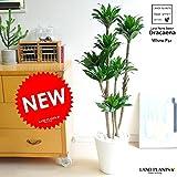 LAND PLANTS 【観葉植物】 ドラセナコンパクタ (白セラアート鉢)