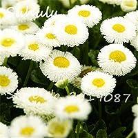 16:美しいデイジーの花の種30粒子アイスクリーム香水鉢植え菊Tha Soukダンス盆栽花の種