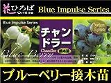 ブルーベリー 苗 チャンドラー ノーザンハイブッシュ系 接ぎ木苗 【ブルーインパルス】 blueberry