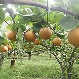JA全農とちぎ 梨 にっこり 秀品 (約5kg) JAなすの産